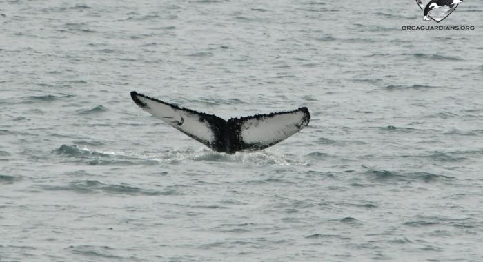 2107 humpback lunging (2)