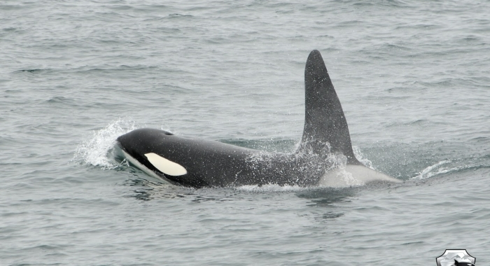 2107 male orca