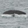 2107 sperm whale tail (1)