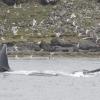 210718 humpback lunge feeding
