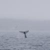210718 humpback tail slap