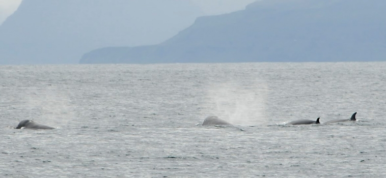 21/08/2018 Northern Bottlenose whales in Breidafjördur