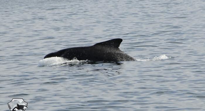 2108 pilot whale