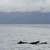 2108 pilot whales