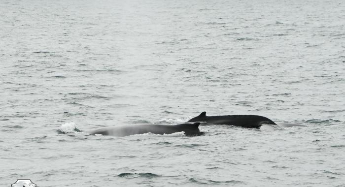 2207 2 humpbacks Olafsvik