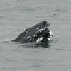 2207 humpback whale