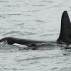 2207 orca