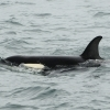 2207 young orca