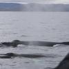 220818 2 humpbacks