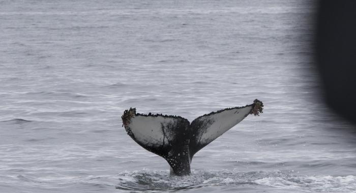 220818 humpback fluke