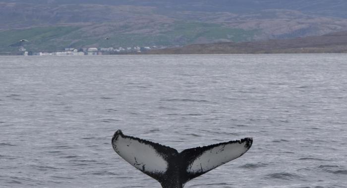 220818 humpback whale tail ID