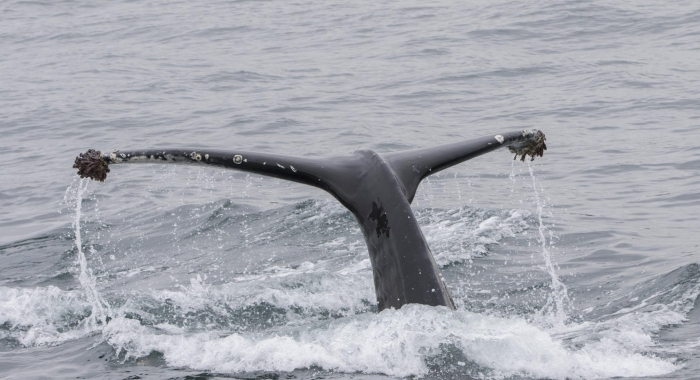 220818 humpback whale tail