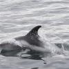 220818 whitebeak dolphin