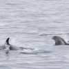 220818 whitebeak dolphins