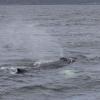 230718 humpback blow