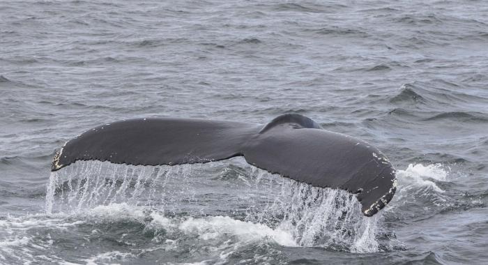 230718 humpback tail