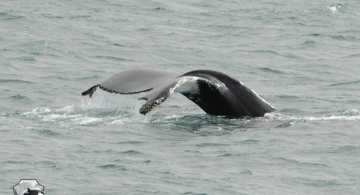 2407 humpback tail Olafsvik