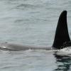 2407 orca male