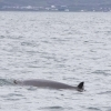 240718 northern bottlenose whale