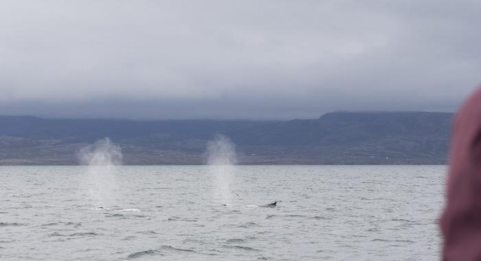 240818 2 humpbacks 2