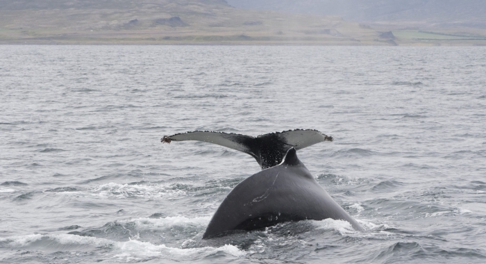 240818 2 humpbacks
