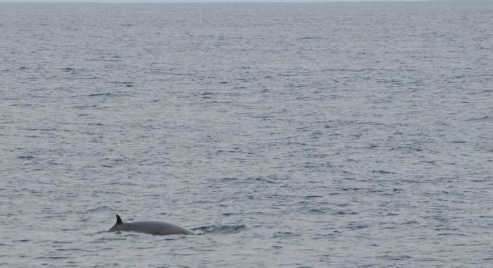 240818 Minke whale