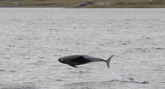240818 close leaping dolphin Holmavik