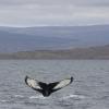 240818 humpback tail