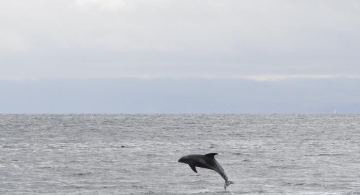 240818 leaping dolphin Holmavik