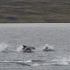 240818 leaping dolphins Holmavik