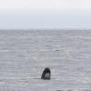 240818 pilot whale spy hop Holmavik