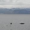 240818 pilot whales Olafsvik 2