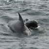 240818 pilot whales Olafsvik