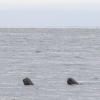 240818 pilot whales spy hop Holmavik