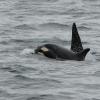 2507 orca calf