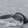 250718 big humpback fluke
