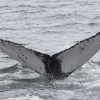 250718 humpback ID