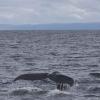 250718 humpback fluke nice