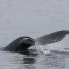 250718 humpback fluke