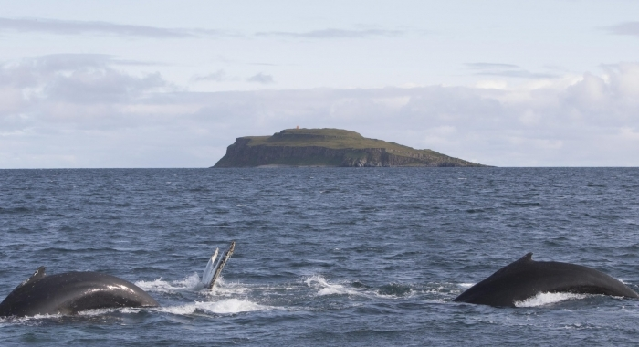250818 3 humpbacks and Grimsey