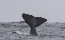 Sperm Whale Watching Iceland or Chasing Moby Dick – Láki Tours' Search for Iceland's elusive Sperm Whales