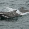 2607 pilot whale