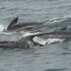 2607 pilot whales 2