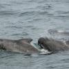 2607 pilot whales 3
