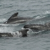 2607 pilot whales