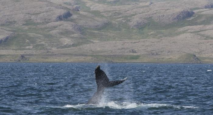 260718 humpback lobtail