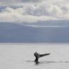 260818 humpback tail pano