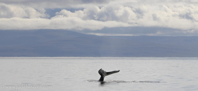 26/08/2018: Sunshine and whales in the Westfjords
