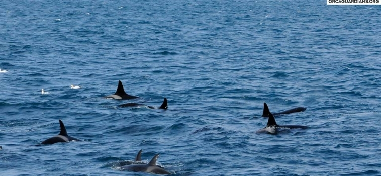 Two groups of orcas in Breiðafjörður