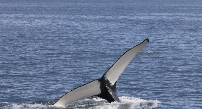 270718 humpback tail